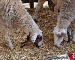 Gozo y Bethlehem (58)