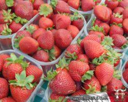 28 abril Strawberry Festival(21)